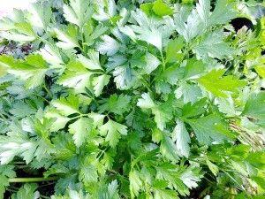 Петрушка: вирощування у відкритому грунті з насіння